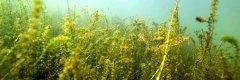 Submerse Makrophyten